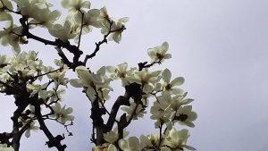 上板橋第一第一中学校近くの商店街の街路樹。 白木蓮が綺麗に咲いています。 この白木蓮が咲くと、上一中の横の石神井川沿いの桜の開花も近いことを、教えてくれます。